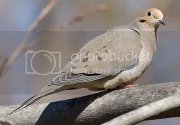 dove.jpg picture by pemerytx