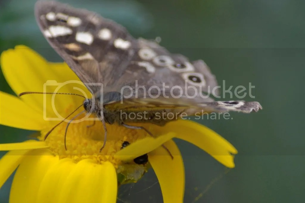 photo Speckled wood 2_zps3owlfdyh.jpg