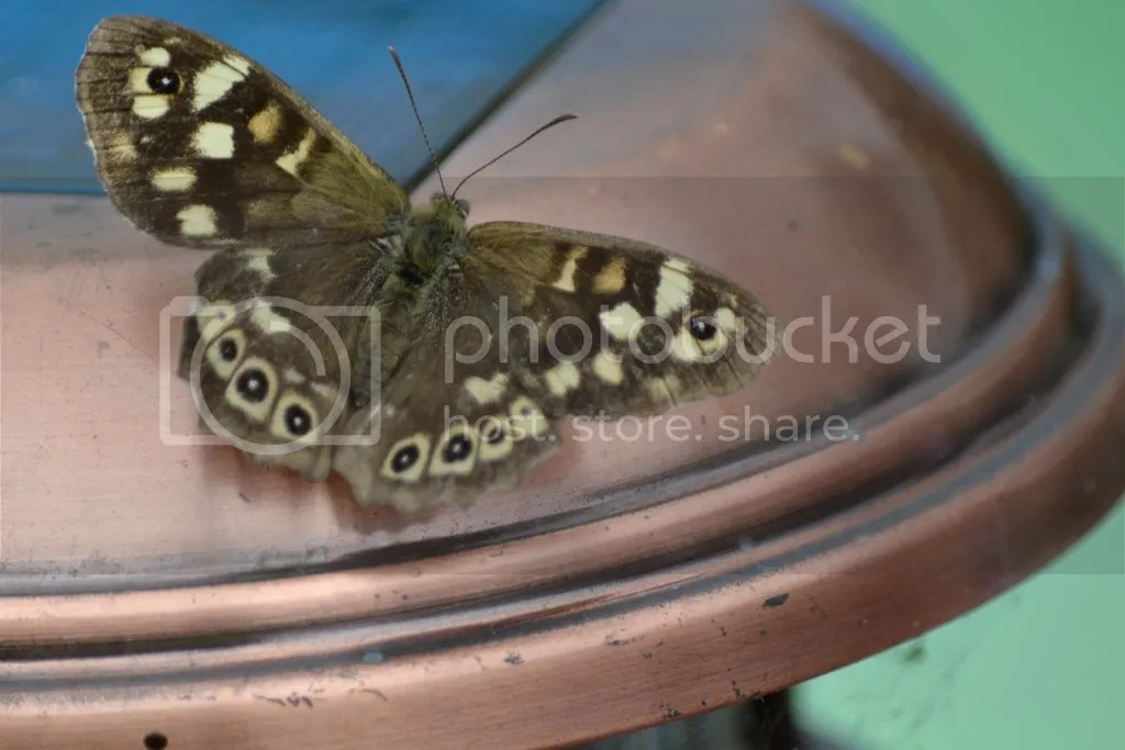 photo Speckled wood_zpsjdgkamfo.jpg