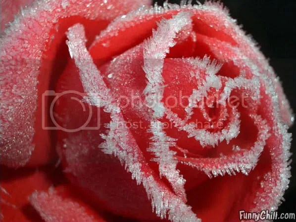 frozen-rose.jpg frozen-rose.jpg image by nogood76