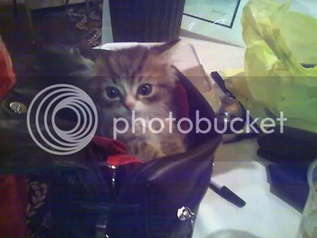 Dolly the kitten