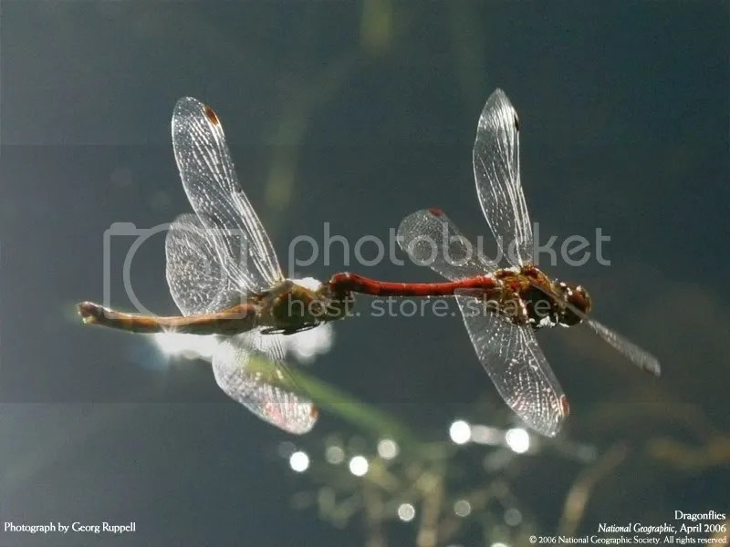 Dragonflies Pictures, Images and Photos