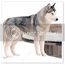 Breed Standard Basics | Nothing Butt Huskies