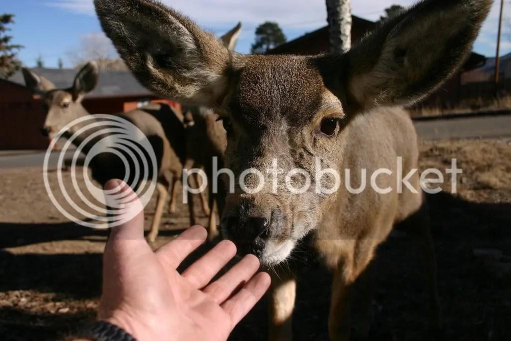 Extremely friendly Mule Deer
