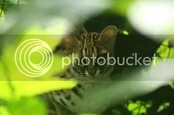 Visayan Leopard Cat
