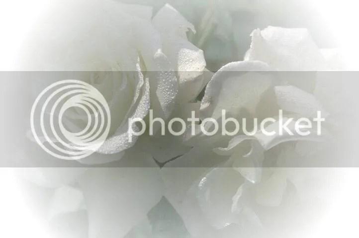 RosasBlancas.jpg Rosas Blancas image by magno_bucket