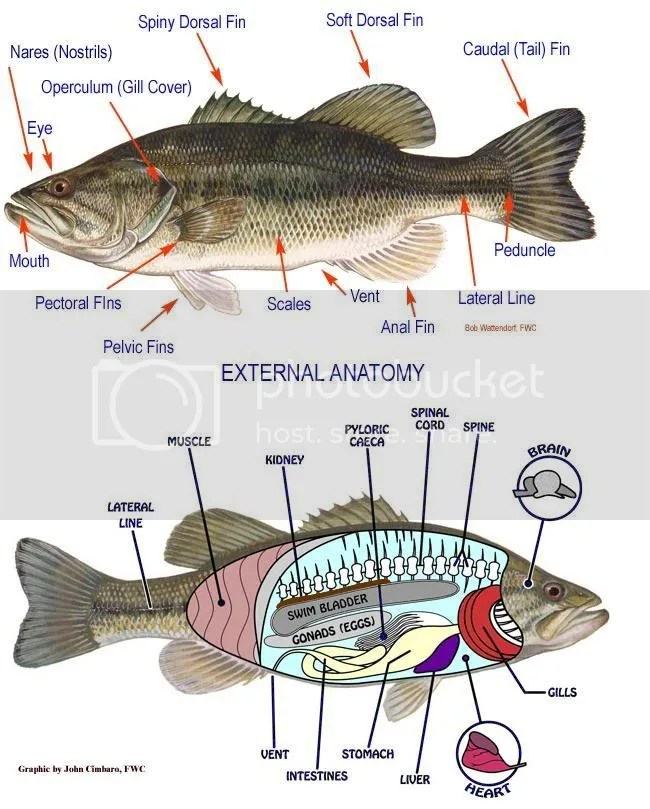 Anatomy & Biology | IllTemperedSeaBass