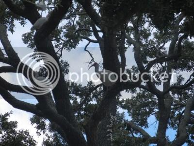 ibis in trees by Juli D. Revezzo