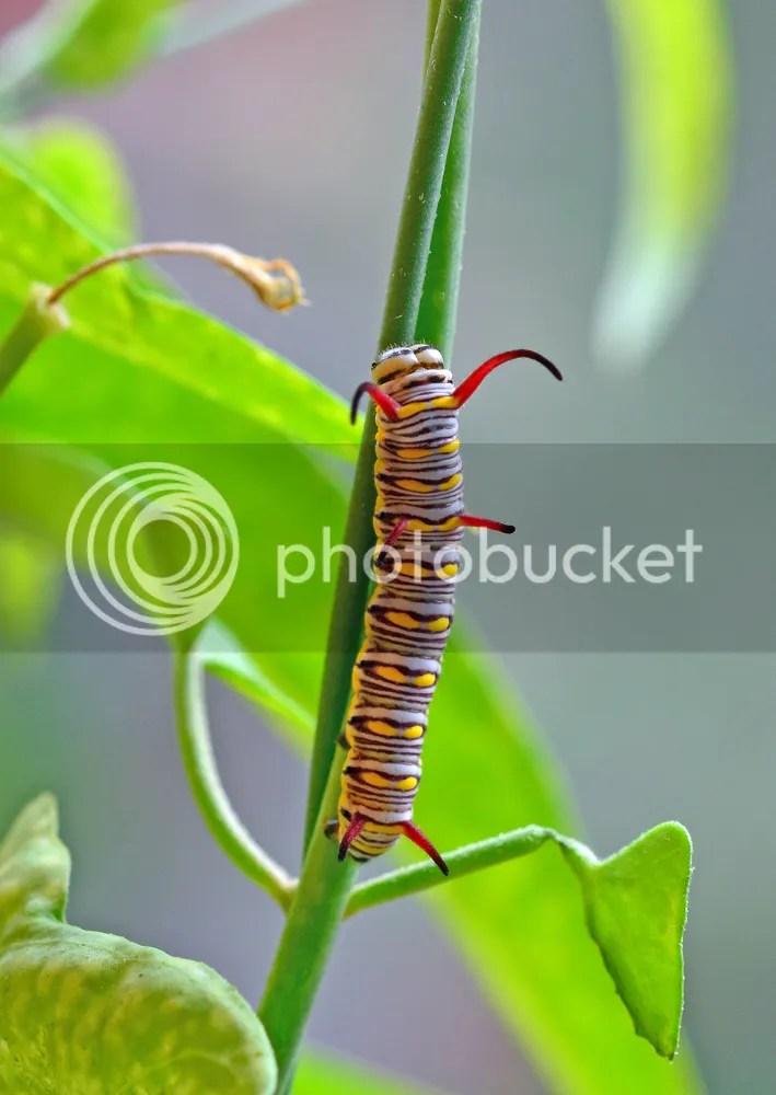 Queen Butterfly Caterpillar.  Copyright:  Greg Joder