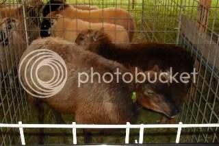 Some Navajo-Churro Sheep