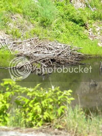 Beaver dam at Frontenac