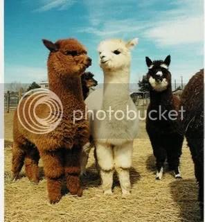 Alpacas Want to Help!