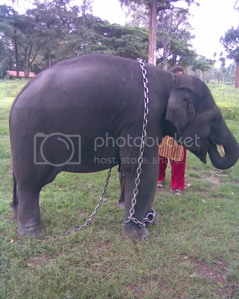 Parshuram, 2 yr old elephant in Dubare Camp