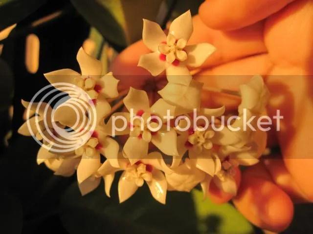 In genere le Hoya sono piante poco esigenti. I fusti si abbarbicano al supporto loro fornito e possono raggiungere la lunghezza eccezionale di 10 metri. Producono fiori stellati e dalla consistenza cerosa di circa 1 cm di diametro. Formano grappoli di 15-20 fiorellini di lunga durata che spesso si protrae per tutta la stagione estiva. Le tonalità variano dal rosa al giallo. Sovente sono molto profumati e ricchi di nettare. Le foglie, opposte, sono spesse[3] (carnose, quasi succulente), lanceolate, lunghe 5-10 cm dal bel colore verde acceso; in molte specie presentano alcune screziature più chiare.