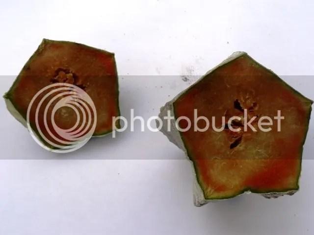 L'astrophytum tagliato a metà evidenzia il marciume completo della pianta, arrivata ormai ad uno stadio irrecuperabile.