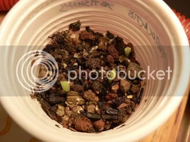 Semina di thelocactus setispinus, plantule cresciute ed in ottima forma.
