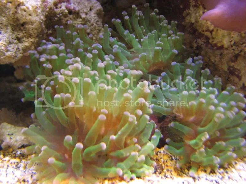 Frogspawn, a great stater coral