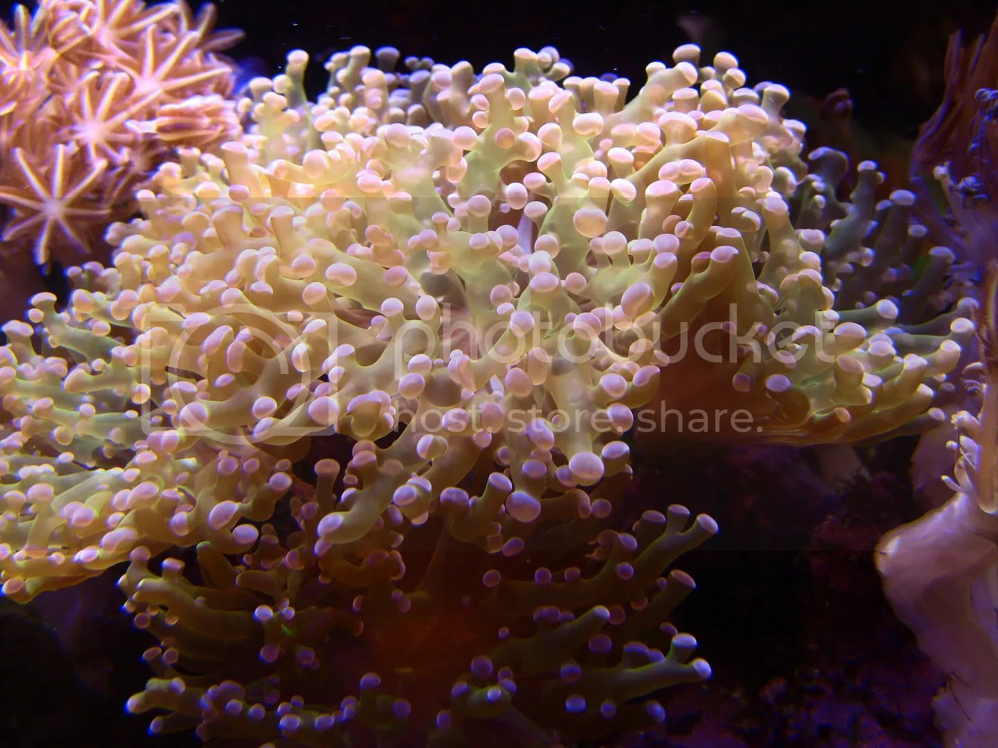 Frogspawn Coral, with it's classic bubbly look