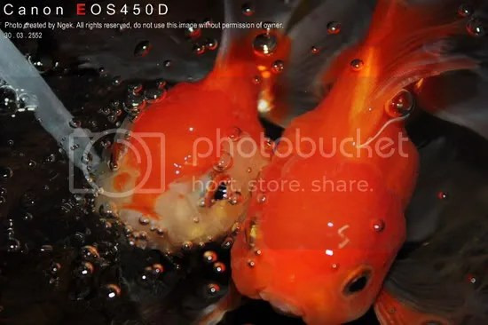 16Goldfish_resize.jpg picture by jade_ornament