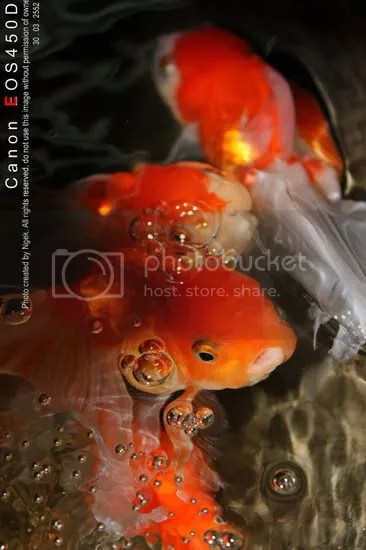 20Goldfish_resize.jpg picture by jade_ornament