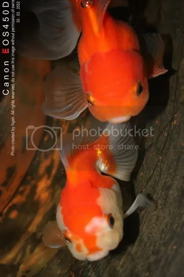 21Goldfish_resize.jpg picture by jade_ornament