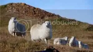 Greeland Sheep Are Fatter
