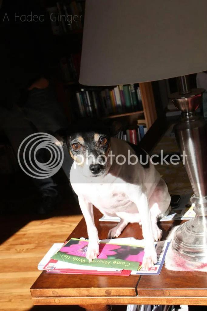 Trixie Sunbathing on the Table @AFadedGinger