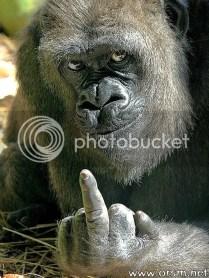 gorilla photo: funny gorilla rs037.jpg