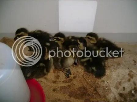 https://i1.wp.com/i187.photobucket.com/albums/x204/chicklady/babyrouenducks2.jpg