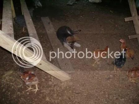 https://i1.wp.com/i187.photobucket.com/albums/x204/chicklady/scarlettincoop1.jpg