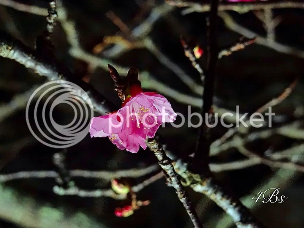 Nakijin Castle Cherry Blossoms Illuminations photo 049e09a7-6afb-40c9-9dd7-61ac03859e3d_zpswhewlkmc.jpg