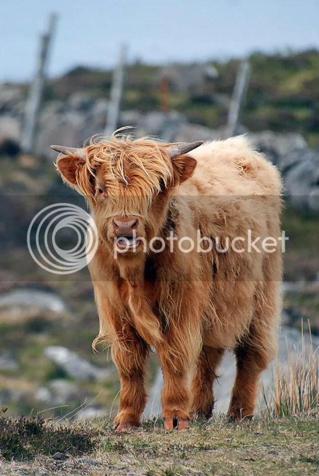 Hairy Hilland Coo, Scotland