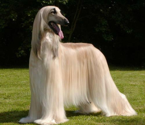 Resultado de imagen de foto perro afgano