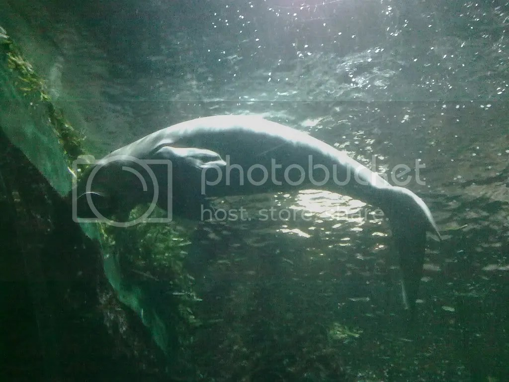 gracie the dugong