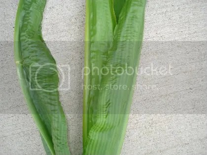 Wrinkled corn leaves. Photo credit: Glen Arnold