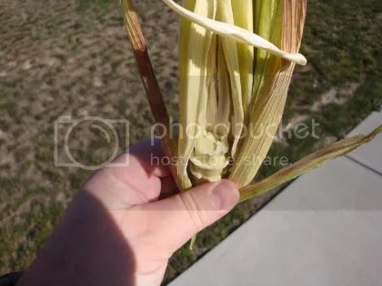 Earless corn #1 (photo credit: Glen Arnold)