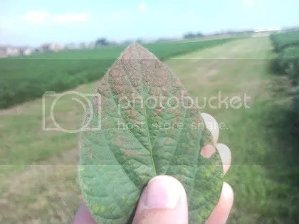 I had incorrectly identified the symptoms in this image as brown spot. Thanks to John Damicone from Oklahoma State University for correctly pointing out to me that this is NOT brown spot.  The image is of Cercospora blight on soybeans. this symptom is getting some debate right now -- is it Cercospora blight or is it a sunburn type of effect on some varieties.  We have started to a small project to try and identify what this is in response to some samples and feedback from some other regions in the state.