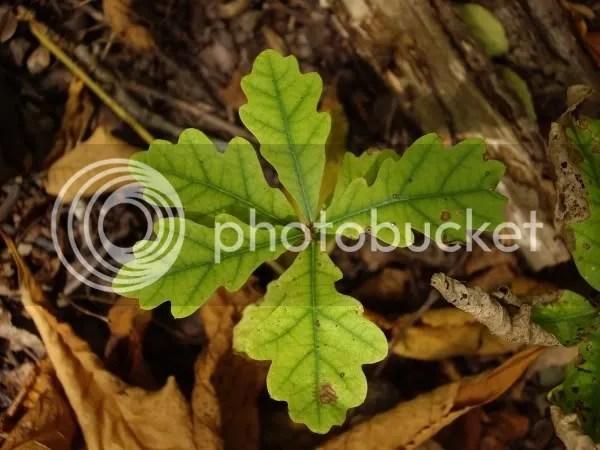 Tiny Oak