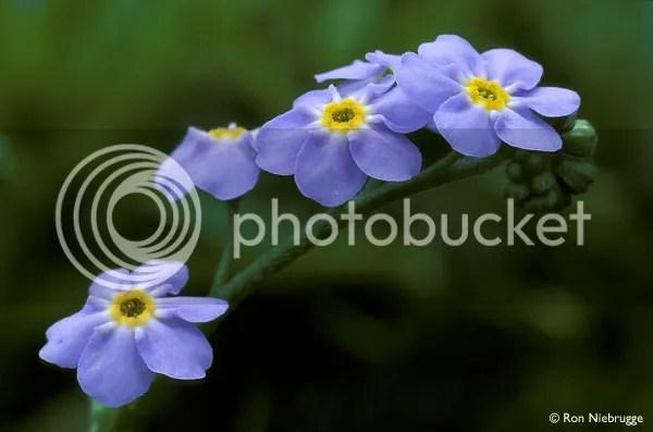 https://i1.wp.com/i195.photobucket.com/albums/z149/minh40/HoaTrongNhac/FORGET-ME-NOT-1__zpsb4d1175f.jpg