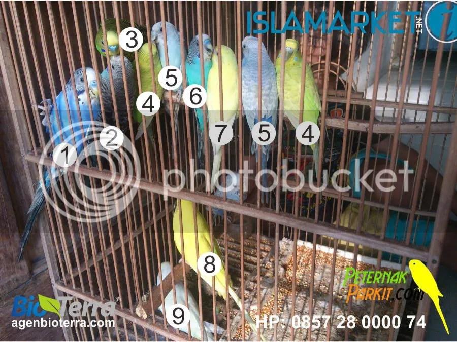 Warna Burung Parkit