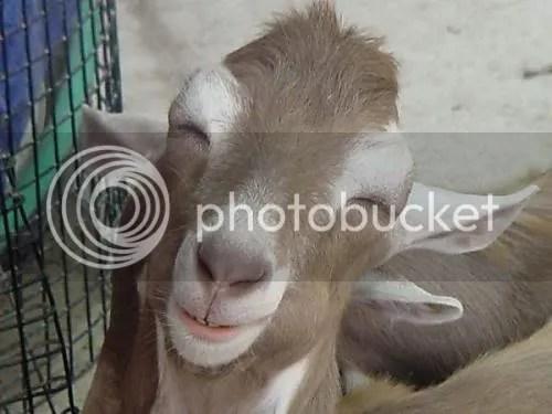 goat photo: Goat Goat.jpg
