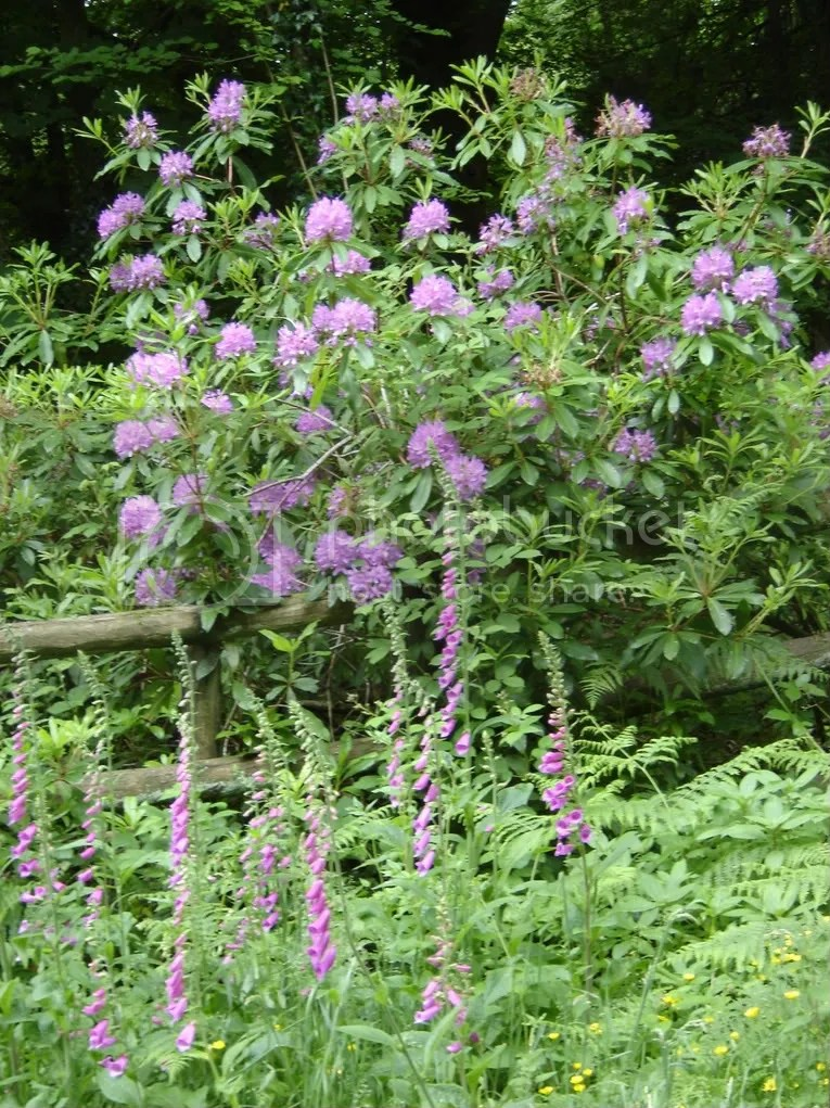 Foxgloves and Rhododendrons
