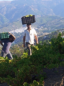 Grape growing and wine making in the Axarquia