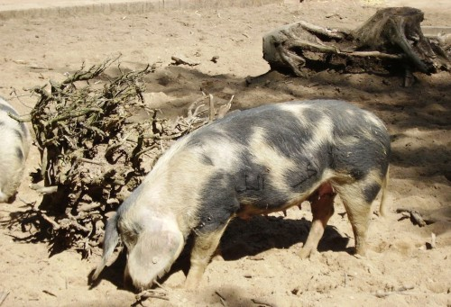 Schwein2.jpg