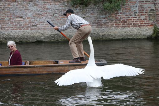 Image result for asbo swan