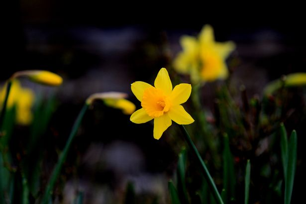 0 Signs of spring at Afonwen with Daffodils in bloom