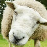 Sheep found dead after being 'shot with crossbow and arrow' on Scots farm 💥😭😭💥