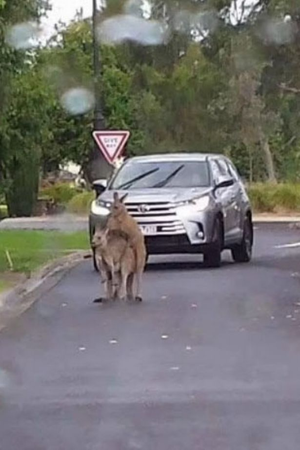 The roos stopped the traffic with their antics in the middle of the road