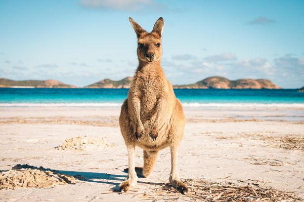 Kangaroo at Lucky Bay in the Cape Le Grand National Park, Western Australia