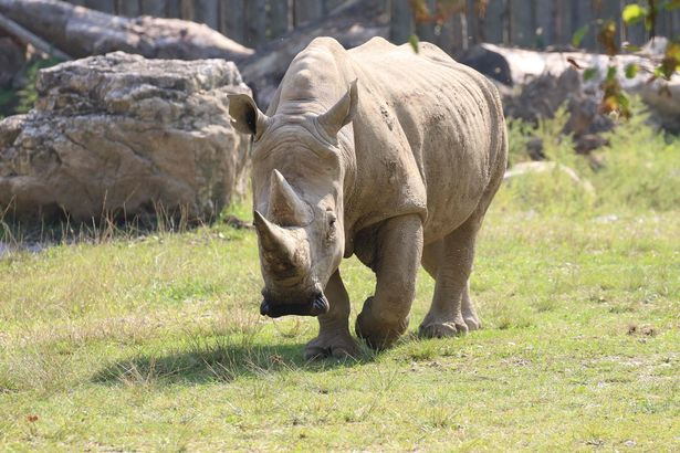 Nonno Toby, the world's oldest rhino, collapsed and died at a zoo in Italy